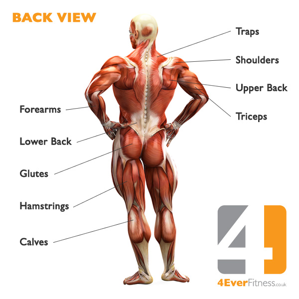 Back Muscle Diagram Human Body